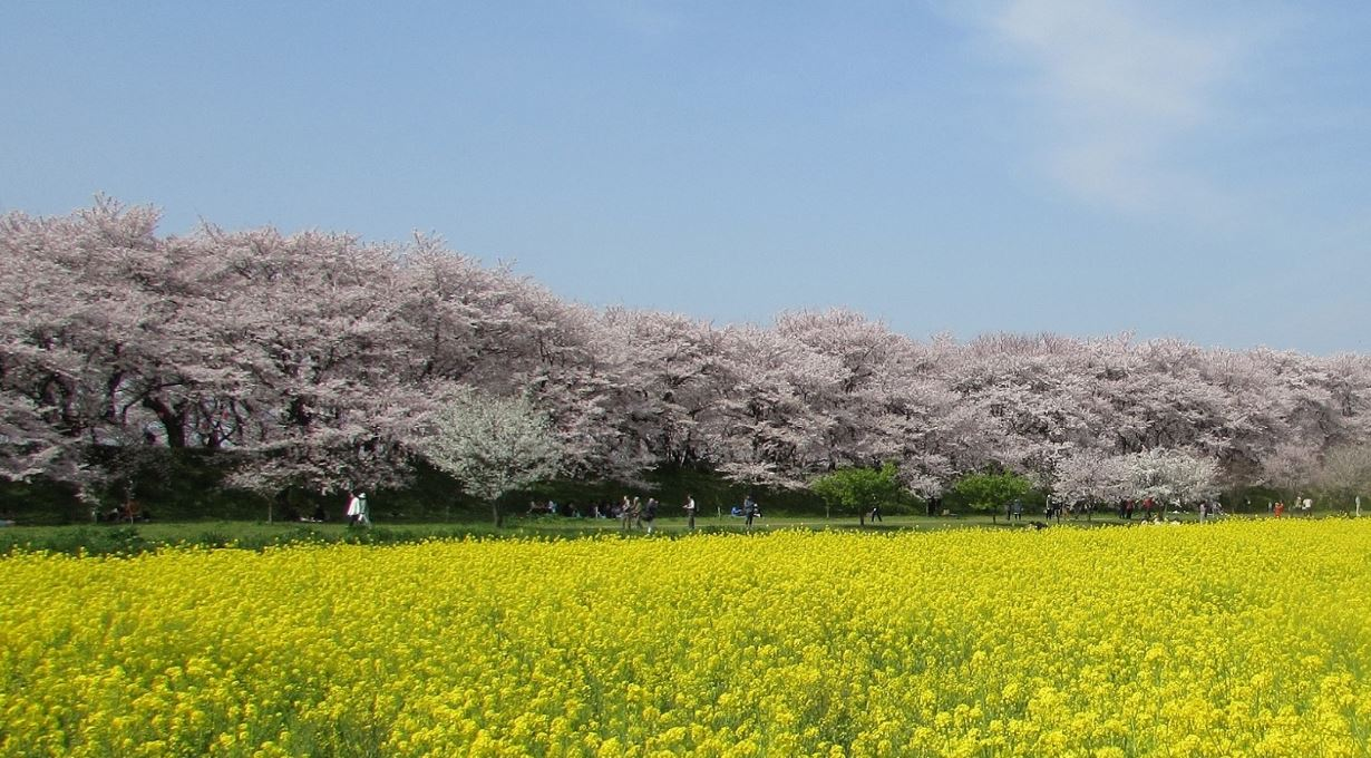 Gongendo Park Cherry Blossoms & Rapeseed Flowers, Satte City, Japan